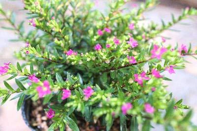 花苗 常緑多年草 クフェア(メキシコ花ヤナギ) ピンク花3,5号ロングポット苗