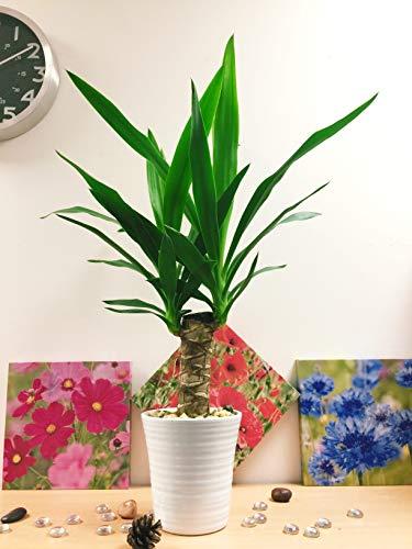Easy Plants - 1 planta de aloe vera en maceta de cerámica blanca y grava dorada de otoño