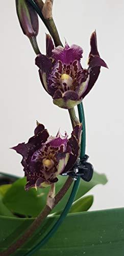 Stk - 1x Odontoglossum Purple Rain Meristem Sorte Orchidee Pflanze OW148 - Seeds Plants Shop Samenbank Pfullingen Patrik Ipsa