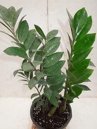 CAPPL ZZ Indoor Air Purifying Plant with Plastic Pot (Zamioculcas Zamiifolia) with Fertilizer Free
