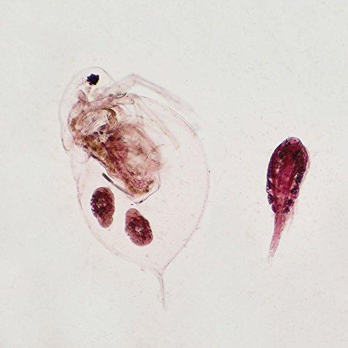 Daphnia and Cyclops, w.m. Microscope Slide