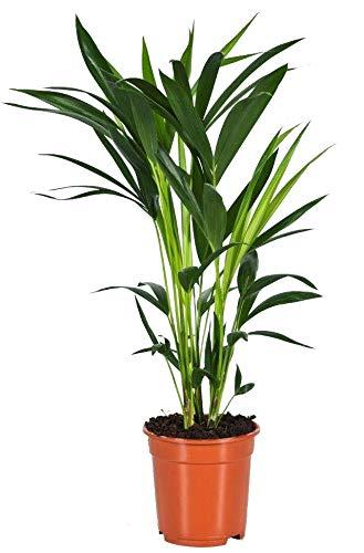 Kentia-Palme, (Howea Forsteriana), wunderschöne Zimmerpflanzepalme, sehr pflegeleicht (ca. 80cm hoch, im 17cm Topf)