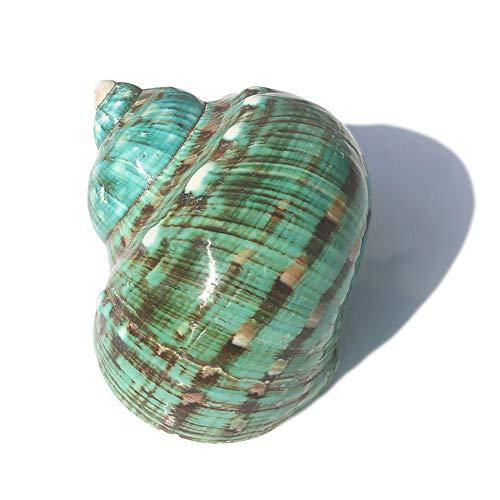 Snow Island Natural Conch Shell Acuario Adornos, 9-12 cm Grande Acuario Artesanía Decoración de Campanilla de Viento