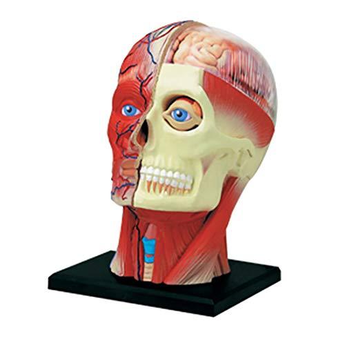 QUARKJK Modelo de anatomia de cabeça humana 4D - 14 peças destacáveis, cabeça humana, músculos, nervos, estrutura de órgãos, ferramenta de ensino médico, modelo de pesquisa