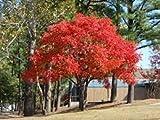 Aamish 30 piezas de árbol de pistacho chino