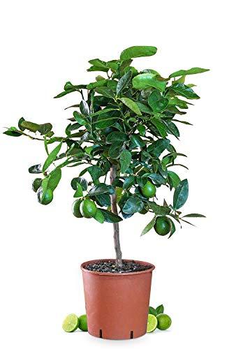 Meine Orangerie Limettenbaum Mezzo - Citrus latifolia - echte Limette - veredelter Zitrusbaum im 6L-Topf - Caipi-Limette - persische Limette - Tahiti-Limette - perfekt für Caipirinha und Cocktails