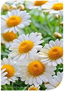 Margaridinha Branca Crysanthemum Paladisum - Embalagem: 200mg