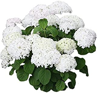 Best snowball plant for sale Reviews