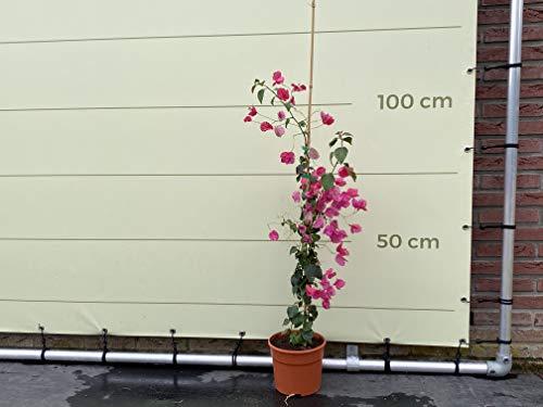 Bougainvillea - 110cm - Rot - Drillingsblume