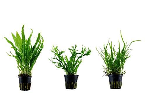 Tropica Pflanzen Set mit 3 Javarfarn Aquariumpflanzen Wasserpflanzen Nr.16