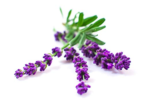 Lavender Seeds for Planting Indoors or Outdoors - Lavender Plant Seeds!
