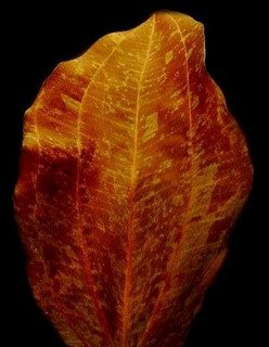 WFW wasserflora Rot geflammte Schwertpflanze/Echinodorus red Flame