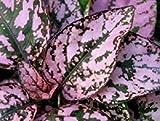 種子パッケージ:ENVIDESO:NEW! 25+ヒポエステス属ポルカドットシードSPLASHのSEEDS/SHADE LOG