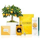 Set Regalo Gourmet Buenos Días con Naranjo Enano Calamondin 38 cm maceta de 16 cm, guía de cuidados, miel de azahar, cuchara para miel, galletas y libro de recetas en caja de regalo