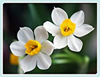 スイセン球根 - 白い水仙植物の花の装飾、非常に美しい庭の植物,4球根