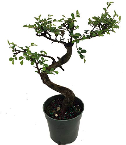 Stylized Imported Japanese Zelkova Bonsai Tree - 4' Pot