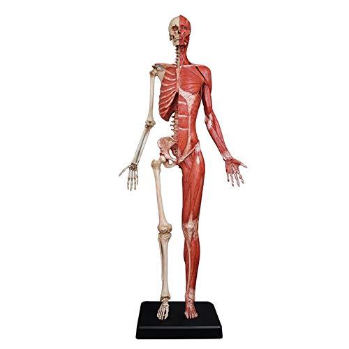 Female Anatomy Figure - Menschliche Muskel-Skelett Anatomisches Modell Malerei Modelle menschliche anatomische Muskel-Knochen-écorché Und Hautmodell Referenz für Künstler,A