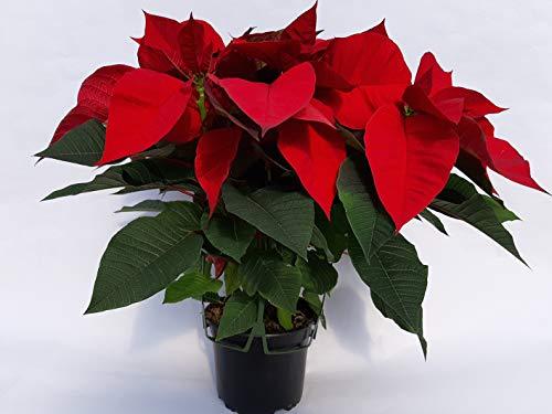 Planta de Navidad, Poinsettia, Flor de Pascua, Flor de Navidad, Planta Natural