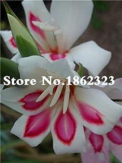 GEOPONICS Semillas: Multi-Color gladiolo de flores (No Gladiolo Bulbos), el 95% de germinación, bricolaje aeróbico en maceta, Rare gladiolo Bonsai Flor-120 PC: 2