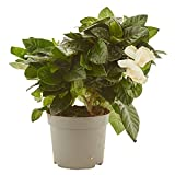 Gardenia natural maceta Ø13cm Verdecora