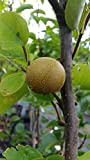 OLYMPIC (KOREAN GIANT) ASIAN PEAR TREE - 2 Year Old 4/5 Feet Tall