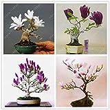 Vistaric 30 unids/bolsa semillas de magnolia mini magnolia bonsai, hermosas semillas de flores de interior o de nuestras plantas en maceta DIY para la mezcla de jardín en casa