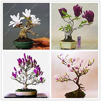 Vista 30 teile/beutel magnolie samen mini magnolia bonsai, schöne blumensamen indoor oder ourdoor topfpflanzen DIY für hausgarten mix
