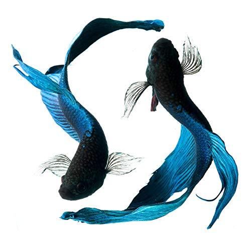 EW Designs Blue and Black Beta Fish Vinyl Decal Bumper Sticker (4')