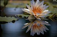 スイレン穜,家庭の繁殖に適しており,根の特別な魔法の植物心地よい寝床植物球根美しい-2,100pcs