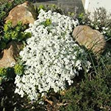 250 Rock Cress Seeds Cascading Snow Cap White Rock Cress Ground Cover