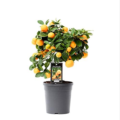 Planta de Naranjo Miniatura Calamondina Citrofortunella Microcarpa Calamondin Calamansí