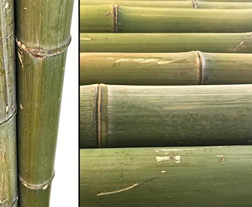 bambus-discount.com 1x Bambusrohr 180cm naturgrün unbehandelt mit einem Durch. von 8 bis 9cm