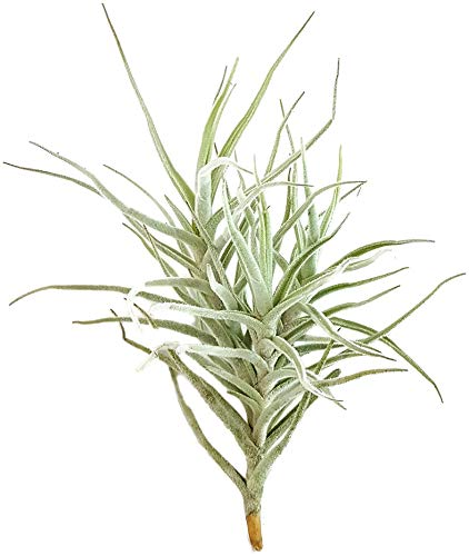Fangblatt - Tillandsie Diaguitensis - lebende Dekoration mit duftenden Blüten - exotische Aufsitzerpflanze - pflegeleichte Zimmerpflanze