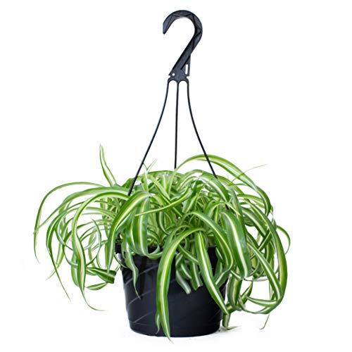 LIVETRENDS/Urban Jungle Chlorophytum (Spider) in 8-inch Hanging Basket Grower Pot, (Live Plant)