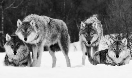 LARGE WOLVES CANVAS PICTURE BLACK AND WHITE 34 X 20 inches mounted and ready to hang