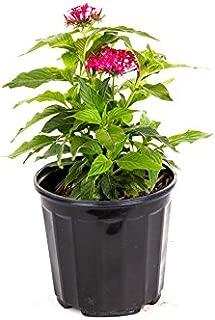 AMERICAN PLANT EXCHANGE Lipstick Pink Penta Live Plant, 6