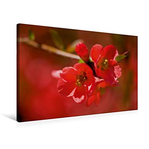 CALVENDO Premium Textil-Leinwand 75 cm x 50 cm quer, Japanische Scheinquitte | Wandbild, Bild auf Keilrahmen, Fertigbild auf echter Leinwand, Leinwanddruck: Rote Blüten Natur Natur