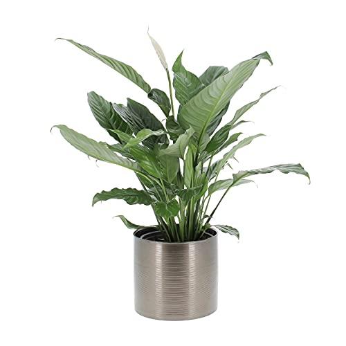 KENTIS - Spathiphyllum Wallisii Martina - Piante Vere da Interni Purifica Aria H 50-60cm Vaso Ø 17cm