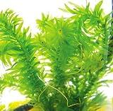 アナカリス8本~9本 水草 (さえずり草)