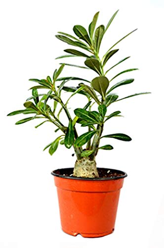 9GreenBox - Desert Rose Bonsai - Ship Bare Root
