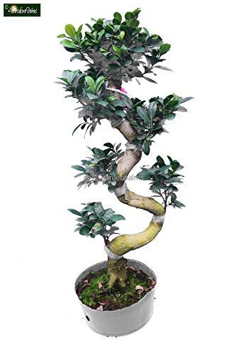 Ficus Bonsai - Chinesische Feige - Bonsai Bäumchen - Ficus marcrocarpa Compacta