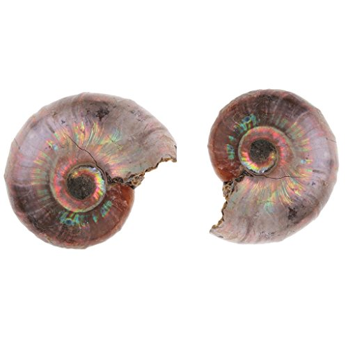 Milageto 2X Natural Ammonite Spiral Stone Arts for School Teaching Conch Model