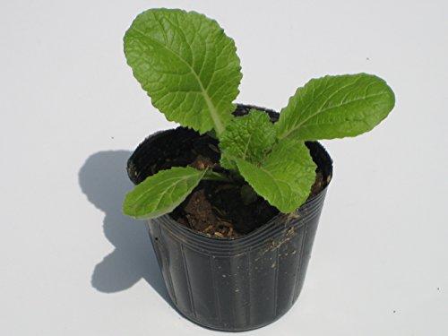 岩手県産 白菜 苗