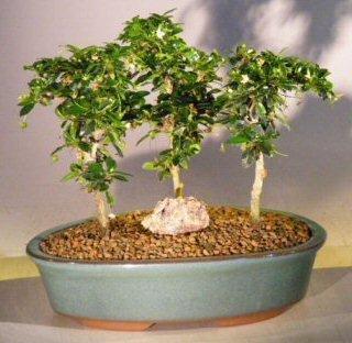 Bonsai Boy's Fukien Tea Bonsai Tree Three Tree Forest Group ehretia microphylla