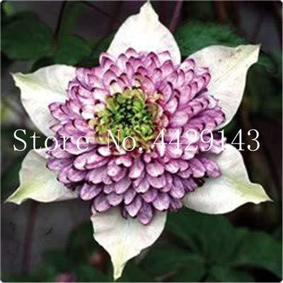ShopMeeko SEEDS: 100 Stück/bag Bonsai es Bonsai Pflanze, Innen/Außen Topfpflanze für Hausgarten-Dekor: 16