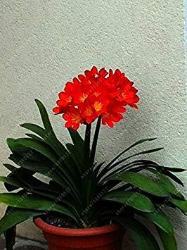 Virtue Veri bulbi di clivia, piante di clivia, bulbi di fiori bonsai, (non semi di clivia), fiori perenni in vaso Radice bulbosa - 20 pezzi 5