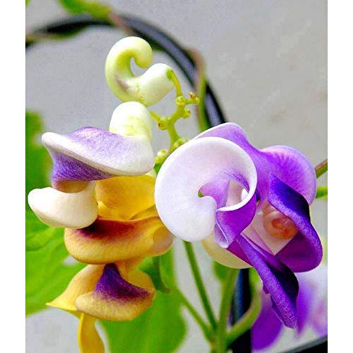 100 stücke Seltene Japanische Schnecke Vine Blumensamen Kletterpflanzen
