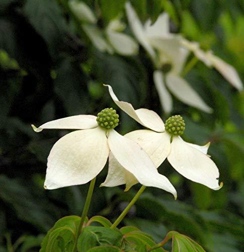 Japanischer Blumenhartriegel 100-125cm -...