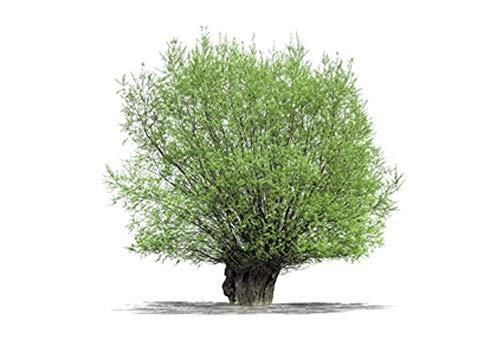 Silberweide 2 Töpfe (Salix alba) Kopfweide