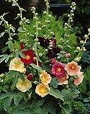 Somarac - Fresh Seeds - Alcea (Hollyhock) ficifolia Single Mix 250 Seeds